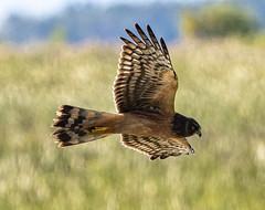 Northern Harrier (Circus cyaneus) (mesquakie8) Tags: bird hawk flyingandhunting hatchingyearmale northernharrier circuscyaneus noha horiconmarshnwr dodgecounty wisconsin 2143