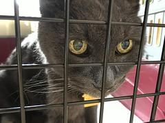 Bonkers at the Vet (sjrankin) Tags: 6september2019 edited animal cat bonkers closeup carrier catcarrier cage catcage vet vetclinic kitahiroshima hokkaido japan