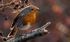 Robin - Erithacus rubecula (pitkin9) Tags: bird robin erithacusrubecula wildlifephotography outdoors nature wildlife twop