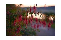Fuchsien (balu51) Tags: morgenspaziergang vorsonnenaufgang gegenlicht pflanze fuchsie pink flower lowlightconditions dawn backlight morningwalk juli 2019 copyrightbybalu51