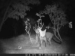 Night (ART NAHPRO) Tags: fox night sussex infra red nightcamera