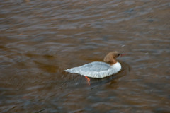 Female goosander drinking (Dave_A_2007) Tags: mergusmerganser bird duck goosander nature wildlife bridgnorth shropshire england