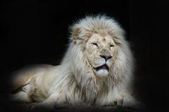 Leo,... (Wim van Bezouw) Tags: lion animal zoo tamron 150600mm sony ilce7m2 blackbackground