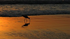 The Creator's Creature (Rand Luv'n Life) Tags: odc our daily challenge san diego weather sandpiper bird feeding torrey pines state beach ocean golden hour sunset silhouette wave gravity gracd simone weil quote