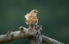 Nilgiri pipit @Munnar (a.sutradhar) Tags: ngc sigma150600mmcontemporary sigmamc11 sonya7iii birdphotography bird wildlife kerala munnar india nilgiripipit
