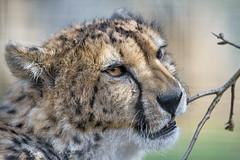 Cheetah biting the branch (Tambako the Jaguar) Tags: cheetah big wild cat male close portrait face semiprofile playing biting branch twig funny basel zoo zolli switzerland nikon d850