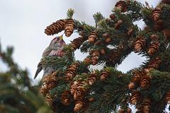 *** (Yuriy Kuzmenok) Tags: птицы птица природа животные чечётка