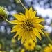 Sunflower (explored)