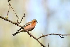 Зяблик (Yuriy Kuzmenok) Tags: природа птицы птица зяблик