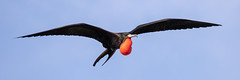 Male Magnificent Frigatebird Inflight and Inflated (dbadair) Tags: outdoor red sky water nature wildlife 7dm2 7d ii ef100400mm canon florida bird bif flight