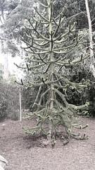 (sftrajan) Tags: september botany strybingarboretum auacaria monkeypuzzletree chileanplants southamericanplants goldengatepark sanfrancisco andeancloudforest bw filter blackandwhite sanfranciscobotanicgarden