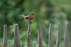 Fence Friday (jillyspoon) Tags: happyfencefriday fencefriday hff fence robin