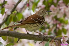 IMG_9498 brown thrasher (starc283) Tags: bird birding birds nature naturewatcher naturesfinest flickr flicker thrasher brownthrasher starc283