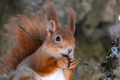 Белка с орехом (Yuriy Kuzmenok) Tags: природа белка белки животные