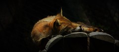 Nap (Bushcraft.Eure) Tags: wildlifephoto wildlifephotography normandie normandy animals france wild sony oss sonya6000 sonye epz18105mmf4goss 18105mm sel18105g ilce6000 vulpes vulpesvulpes renard roux renardroux goupil canidae fox