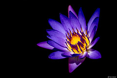 Water Lily (Ken Mickel) Tags: beautiful fineart flower flowers gardenofeden hawaii kenmickelphotography maui panamapacificwaterlily plants roadtohana waterlily haiku unitedstatesofamerica