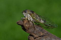 Cigale/Cicada (jean-francoislavallée) Tags: cigale cicada insecte insect nature wildlife quebec canada nikon