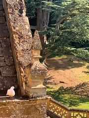 White dove alarm clock 🎵 (markshephard800) Tags: garden trees tree roof oxfordshire wroxton england stone architecture bird dove