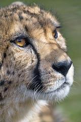 Cheetah looking pensive (Tambako the Jaguar) Tags: cheetah big wild cat male close closeup face semiprofile resting calm pensive basel zoo zolli switzerland nikon d850