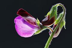 IS7DII_099622-6 Stack (Ian Slingsby) Tags: sweetpea focusstack flower macro