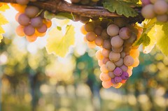 Moody September Sunshine (DrQ_Emilian) Tags: fall autumn season light details colors bokeh mood outdoors nature agriculture grapes vineyards sunshine wanderlust travel visit explore discover stetten kernen badenwürttemberg germany photography hobby beautiful moody