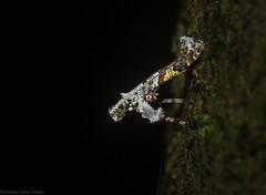 Caloptilia plagata (dustaway) Tags: arthropoda insecta lepidoptera gracillariidae caloptiliaplagata australianmoths australianinsects australianwildlife rainforest rotaryparkrainforestreserve rprr lismore northernrivers nature nsw australia