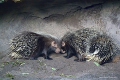 African Crested Porcupines (Harry Rother) Tags: animal mammal porcupine african crested cute disney abigfave