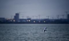 Dublin Bay (Mark Waldron) Tags: dublin ireland bay evening seagull mto500 500mm mirrortele soviet vintagelens sony a7iii donut bokeh