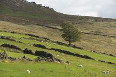 LoneTreeHill (Tony Tooth) Tags: nikon d600 sigma 50500mm tree lonetree hillside rocheend gradbach staffs staffordshire staffordshiremoorlands farm farmland farming field sheep stonewall england