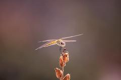 Libellula (cardiariccardo94) Tags: animali animals libellula nature