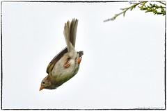 Field sparrow takeoff (RKop) Tags: nikon d500 eastforklake raphaelkopanphotography 600mmf4evr