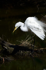 _DSC5279.jpg=052619Z (laurie.mccarty) Tags: bird wildlife animal water chincoteagueisland nature naturephotography egret greategret
