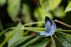 Holly Blue f Celastrina argiolus (Shalley Lewis) Tags: celastrinaargiolus hollyblue