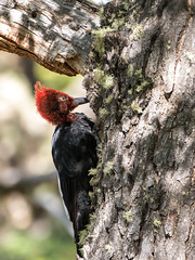 Pic de Magellan (pixarmor) Tags: argentine campephilusmagellanicus chili elchalten picdemagellan oiseaux pic voyage