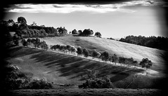 Cattle in the Gully (Graeme O'Rourke) Tags: lrcf2k6345v1 southgippsland black white blackandwhite bw national landscape nature trees clouds breattakinglandscapes fence cattle natural gate victoria australia sun light shadow