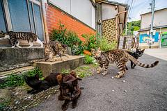 相島の猫 (S.R.G - msucoo93) Tags: 日本 九州 福岡 新宮 相島 貓 猫島 gm1 laowa75mmf20