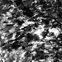 Up Through Trees 068 (noahbw) Tags: captaindanielwrightwoods d5000 dof nikon abstract blackwhite blackandwhite blur bokeh branches bw depthoffield forest leaves light monochrome natural noahbw shadow square summer trees woods