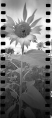 2419 Going Over. (Monobod 1) Tags: ondu 135 panoramic expired ilford hp5 rodinal pinhole lensless epsonv800
