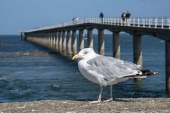 Goéland roscovite (Patrick Doreau) Tags: bird oiseau goéland mer sea passerelle bridge people personnes