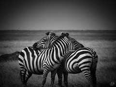 ZEBRA HUG (eliewolfphotography) Tags: zebra zebras tanzania tarangirenationalpark safari serengeti serengetinationalpark safariphotography stripes animals africa african wildlife wildlifephotographer wildlifephotography nature naturelovers nikon naturephotography natgeo naturephotographer natgeowild blackandwhite bnw bnwanimals