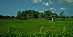 MEXICO, Yucatán, unterwegs nach Villahermosa,  19246/11921 (roba66) Tags: urlaub reisen travel explore voyages rundreise visit tourism roba66 wiesen agricultur meadows landschaft landscape paisaje nature natur naturalezza mexiko mexico mécico méjico nordamerika northamerica zentralamerika yukatanhalbinsel rundreise2017 yucatán green fields