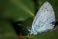 Holly Blue (Celastrina argiolus) (JordanNaturePht) Tags: tokina100mmmacro tokina nikond7200 nikon invertebrate insects nature wildlife macro butterflies butterfly hollyblue celastrinaargiolus