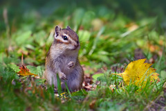 (marussia1205) Tags: бурундук осень chipmunk autumn