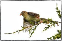 Field sparrow takeoff (RKop) Tags: eastforklake raphaelkopanphotography d500 600mmf4evr nikon