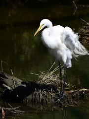 _DSC5273.jpg=052619E (laurie.mccarty) Tags: bird egret nature naturephotography nikond810 nikon80400mm greategret wildlife water animal