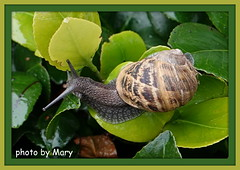 Snail (maryimackins) Tags: snail garden wildlife mary mackins kent