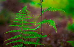 Fern (Ánhphạm2) Tags: sweed grasses fern nature focusstacking cỏ dươngxỉ