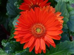 Gerber Daisy Splash (npbiffar) Tags: garden outdoor flower daisy gerber plant bloom npbiffar fz200 lumix ngc