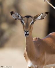 Pretty Impala  female (leendert3) Tags: leonmolenaar southafrica krugernationalpark wilderness wildanimal wildlife nature naturereserve naturalhabitat antelope mammal impala ngc