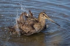 Bécassine des marais (jean-louis21) Tags: camargue oiseaux bécassine des marais